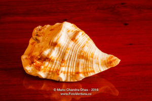 Conch Shell from South India