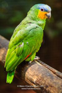 Blue-fronted Amazon or Amazona Aestiva © Mano Chandra Dhas