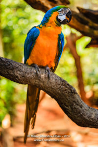 Blue and Gold Macaw in Brazilian Rainforest © Mano Chandra Dhas