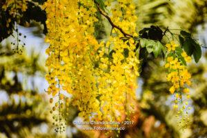 Golden Shower Tree - Abundance Of Yellow Flowers